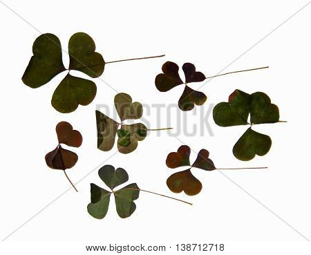 triangular dark green smooth leaves with no clearly defined structure stem dry pressed delicate decorative sorrel isolated on white background scrapbook