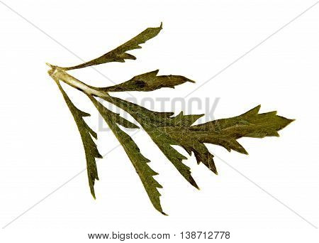 dark terry carved leaf marsh green isolated