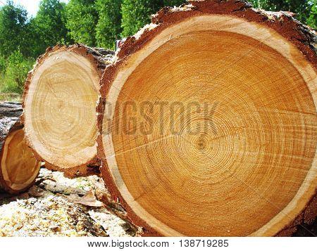 Photo of big logs plan during timber harvesting.