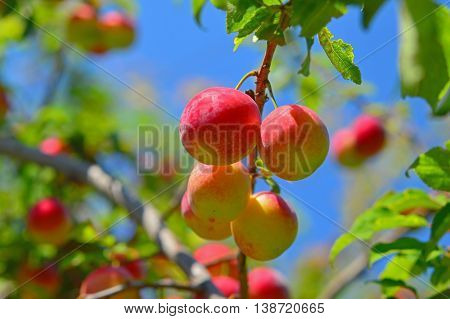the Delicious cherry-plums on the plum tree