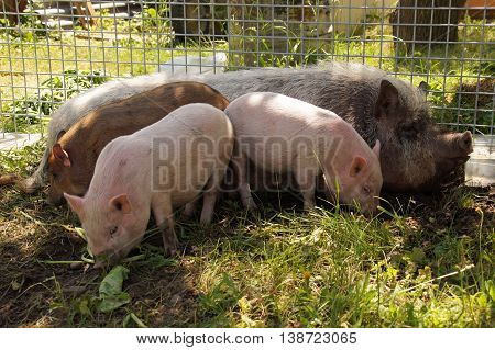 A family of pot - bellied pigs at a farm