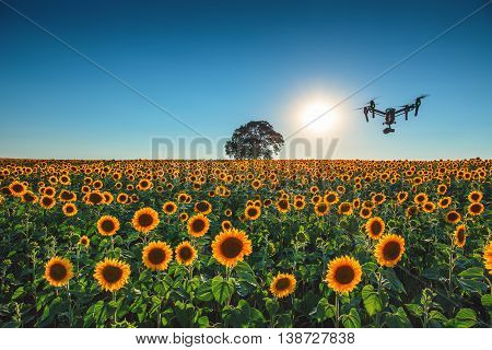 Flying drone and sunflower wheat field at sunset