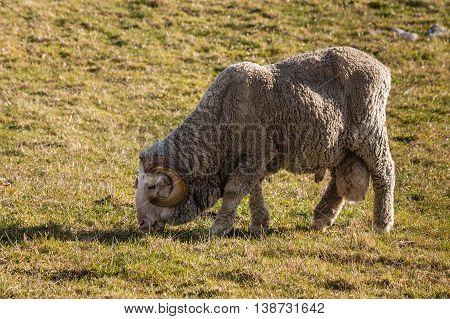 closeup of merino ram grazing on meadow
