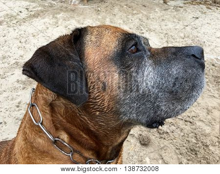 Portrait from a Boerboel, south african mastiff