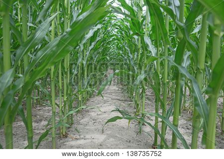 Row of green corn (maize) growing in the field