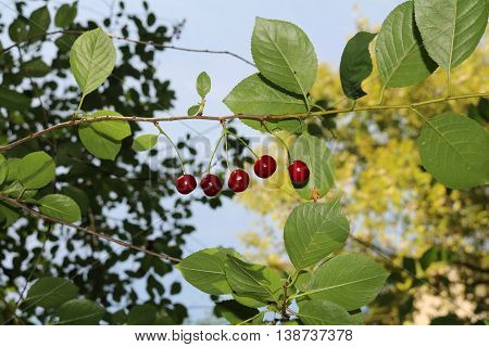 Cherry (Prunus subg Cerasus.) - Related plant plum and rose