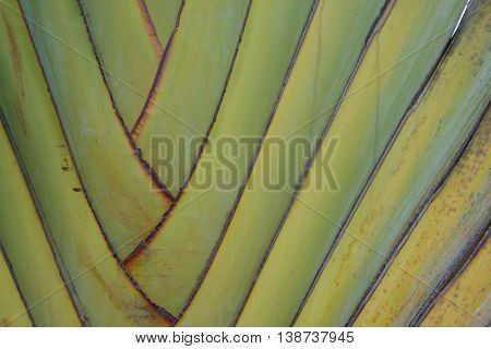 Petiole pattern of banana tree  Green natural background