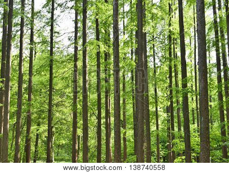 Mixed forest in spring with smooth sunlight, fallen through the leaf canopy. Nature background, tranquil scene with no people.