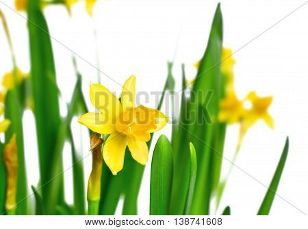 Yellow daffodils or narcissus flowers. Spring flowers, isolated on white background.