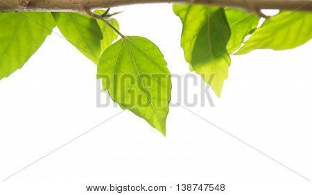 isolated branch of green young leave on white background