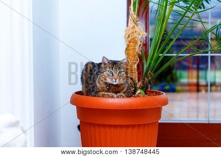 Beautiful Cat With Green Eyes Resting In A Pot With Plants. Eye Contact.