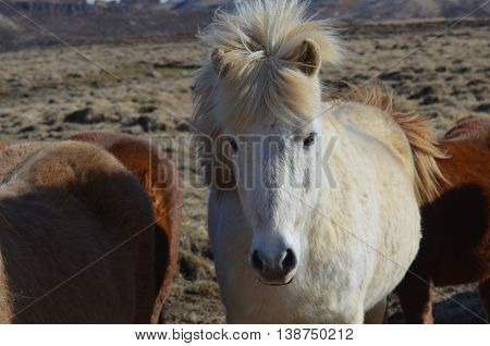 Beautiful white Icelandic horse with his mane and forelock blowing in the wind.