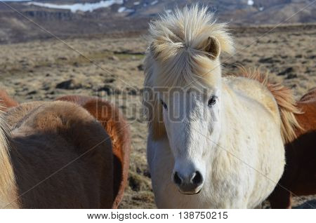 White Icelandic mare in a herd of other horses.