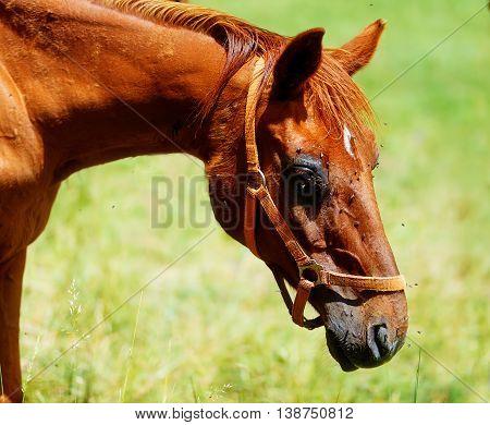 Detail Of Brown Horse Head Tortured By Flies In Summer.