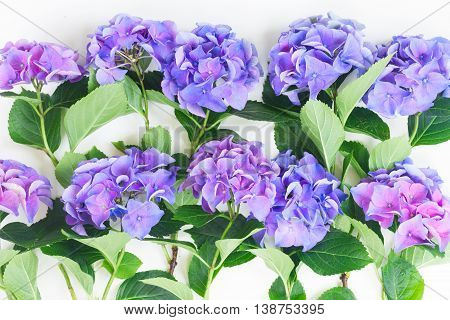 blue and violet hortensia flowers pappern on white background