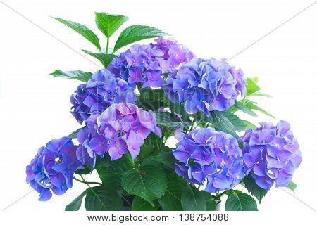 bush of blue and violet hortensia flowers and leaves isolated on white background