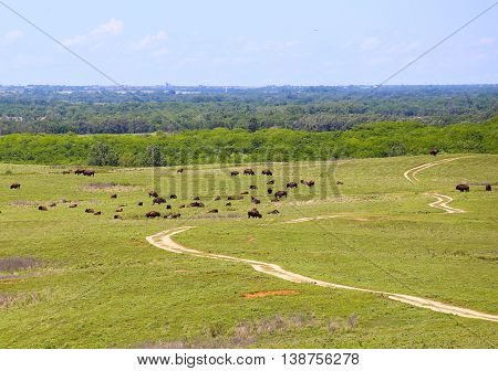 CANTON, KANSAS, USA - MAY 17, 2015: Grazing buffalo in Maxwell Wildlife Refuge near Canton.