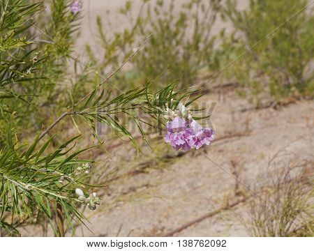 Desert willow (Chilopsis linearis) blossom, selective focus on the flower, copyspace