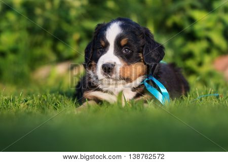 adorable bernese mountain puppy outdoors in summer