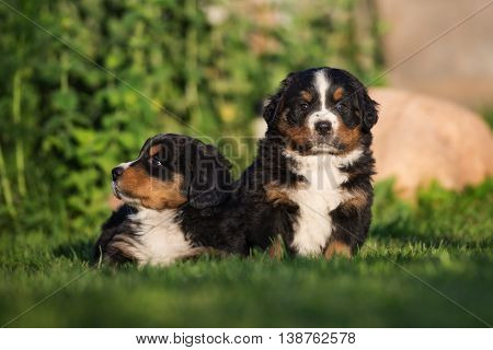 two bernese mountain puppies posing outdoors together