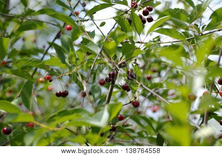 Red cherries on a tree branch. Selective focus