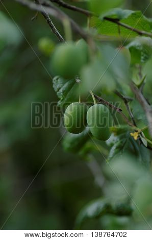 A plum branch with green immature fruit.