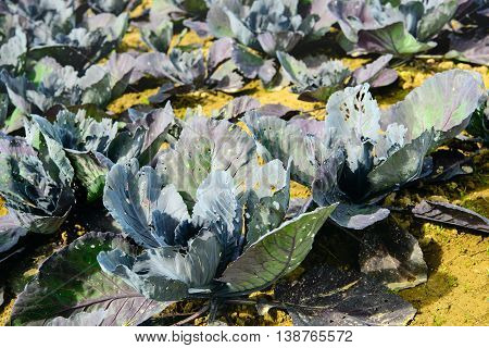 Closeup of organically grown red cabbage plants on a sunny day in summertime. The leaves have many holes and other feeding damage caused by caterpillars.