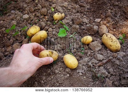 Harvesting Fresh Dirty Potatoes From The Soil