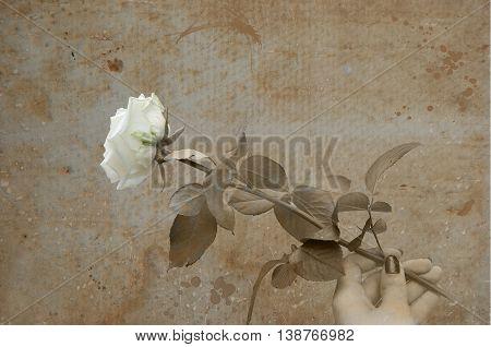 White Rose In Hand  Grunge