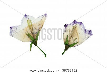 Pressed and dried flowers campanula isolated on white background. For use in scrapbooking floristry (oshibana) or herbarium.