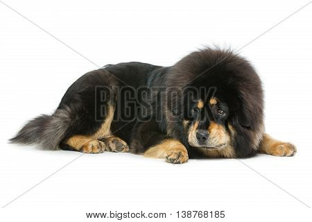Closeup portrait of big beautiful Tibetan mastiff dog lying over white background and chewing. Isolated. Copy space.