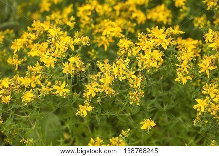 Yellow flowers of hypericum perforatum, St. John's worts.