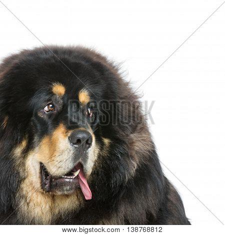 Closeup portrait of big beautiful Tibetan mastiff dog over white background. Isolated. Copy space.