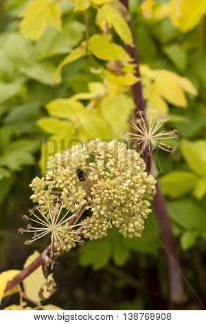 Angelica Archangelica - the plant used in culinary, Angelica oil in aromatherapy, pot - pouri.