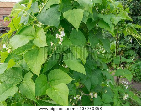 White color flower beans on green leaf background.