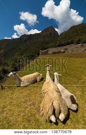 Llamas grazing and lying down on the sacred grass of Machu Picchu. Wide angle view with scenic sky.