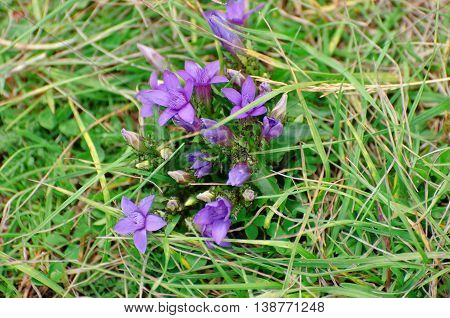 First spring flowers grows in dry grass. Mountain region Durmitor Montenegro