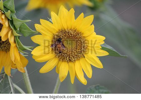 Honey bee pollinating a sunflower at a garden