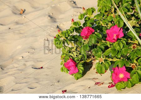 Red beach roses grow on sand dunes on the beach can be seen in the light of the setting sun in Kolobrzeg in Poland