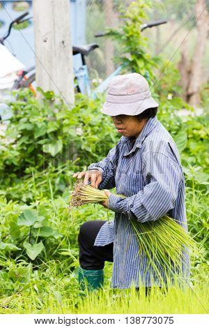 CHIANG RAI THAILAND - JULY 16 : Unidentified Thai female farmer preparation rice seedlings for planting on July 16 2016 in Chiang rai Thailand. .