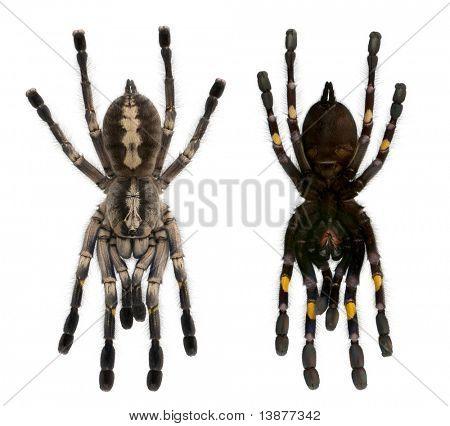 Arañas de la tarántula, Poecilotheria Metallica, frente fondo blanco