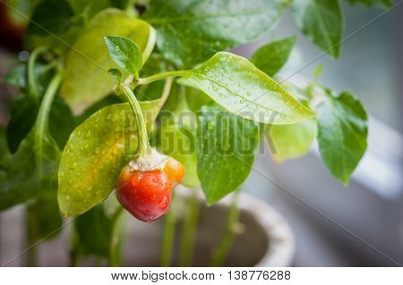 Ripening Small Red Bell Peppers In A Greenhouse