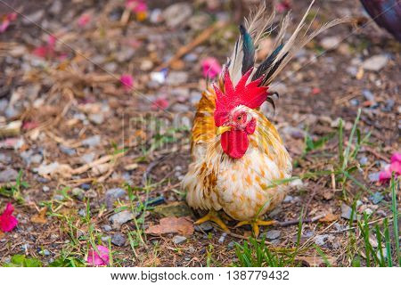 Close up of beautiful color chicken walking and find food in local chicken farm thailand.