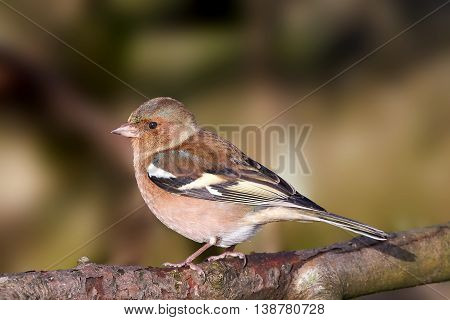 Common chaffinch (Fringilla coelebs) sitting on a branch with vegetation in the background