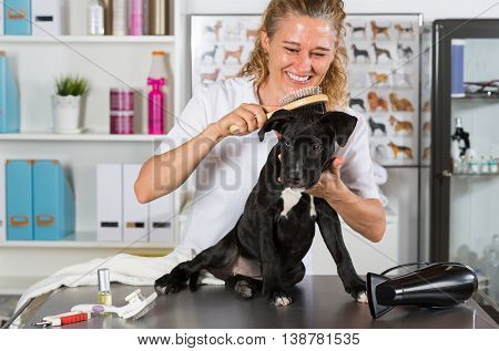 Veterinarian brushing your dog American Staffordshire after a bath