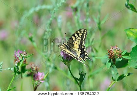 Swallowtail butterfly, Old World swallowtail. Swallowtail butterfly is drinking nectar from a clover flower.