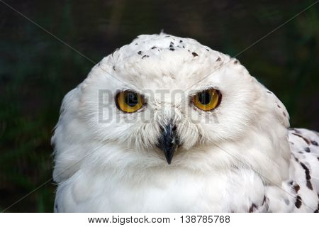 Head of snowy owl bubo scandiacus bird