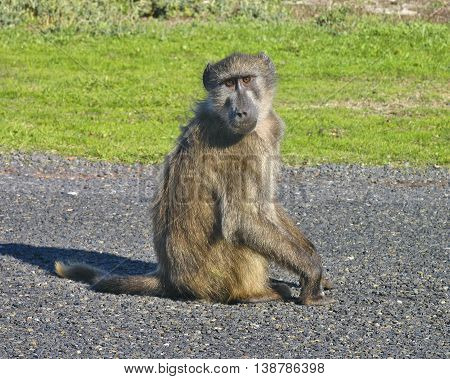Baboon, Cape Point Reserve, Cape Town South Africa 01