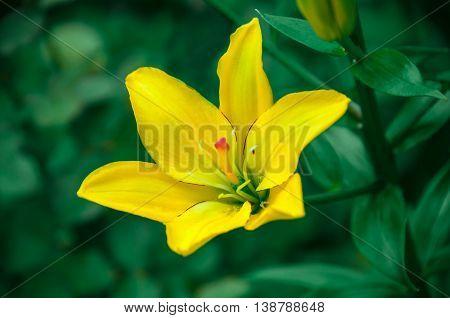 Beautiful flower yellow lilies in the garden