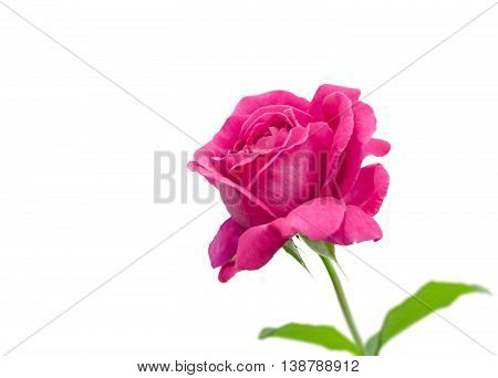 Pink rose isolated on white background , there are pictures of this series